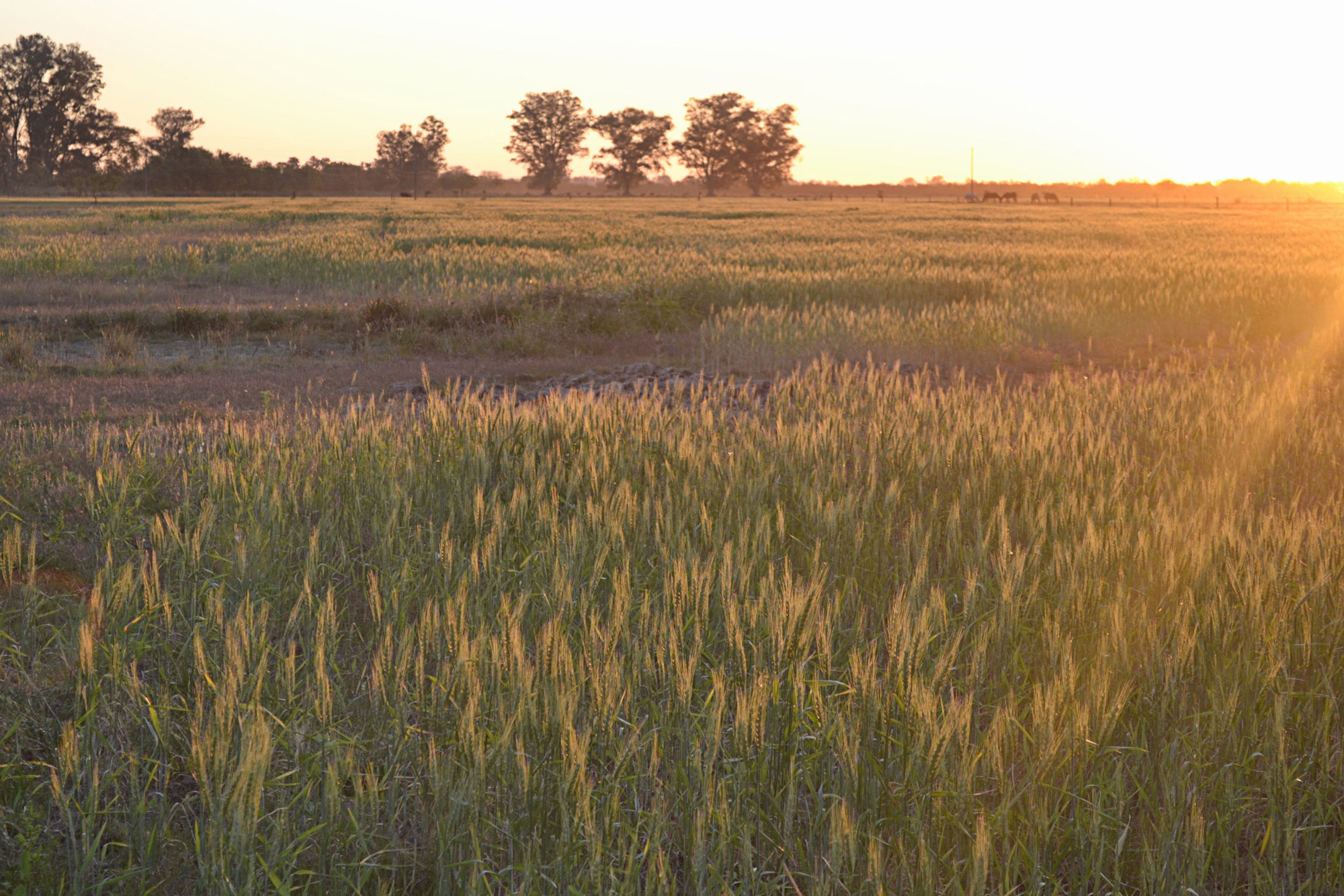En tierras difíciles para cultivar cereales y sin usar venenos, los vecinos de Hersilia lograron que el trigo crezca. Foto: Violeta Pagani.