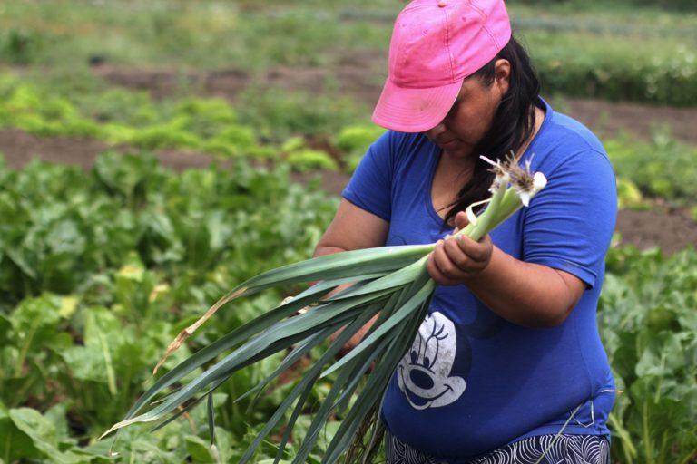 Pequeña productora de la Unión de Trabajadores de la Tierra (UTT) recolectando puerro