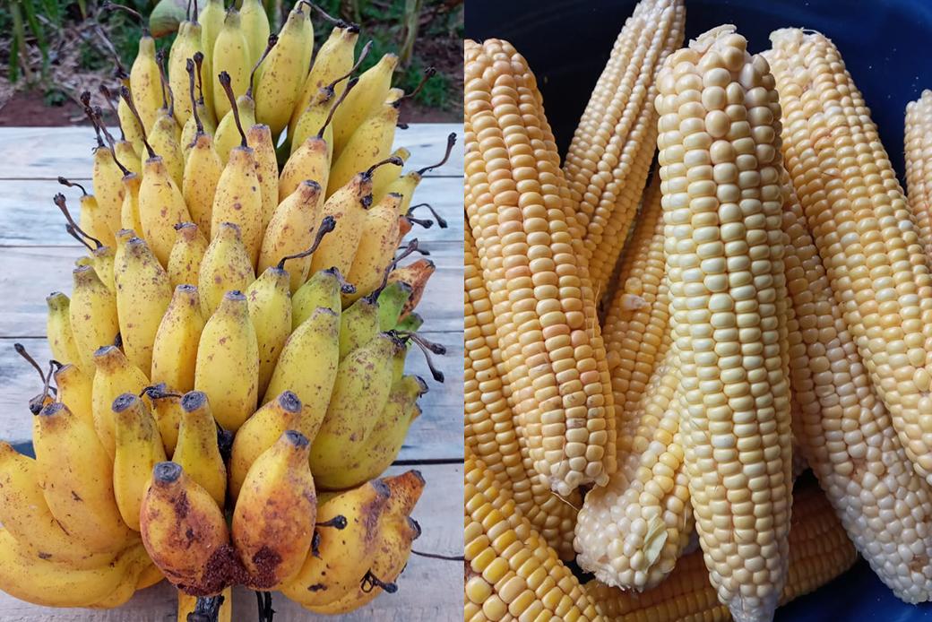 Maíz y bananas agroecológicas producidas en el campo de Belén.