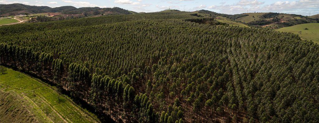 Cultivo de eucalipto