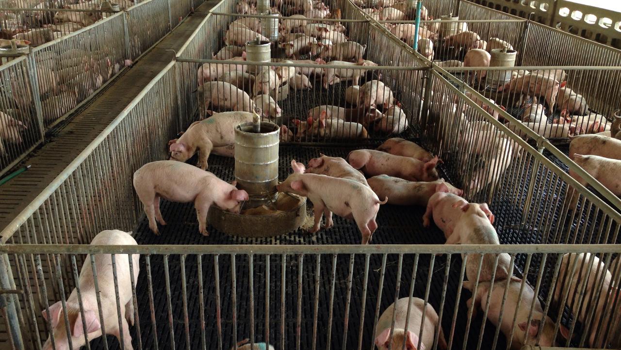 Granja porcina. Foto: Adobe Stock