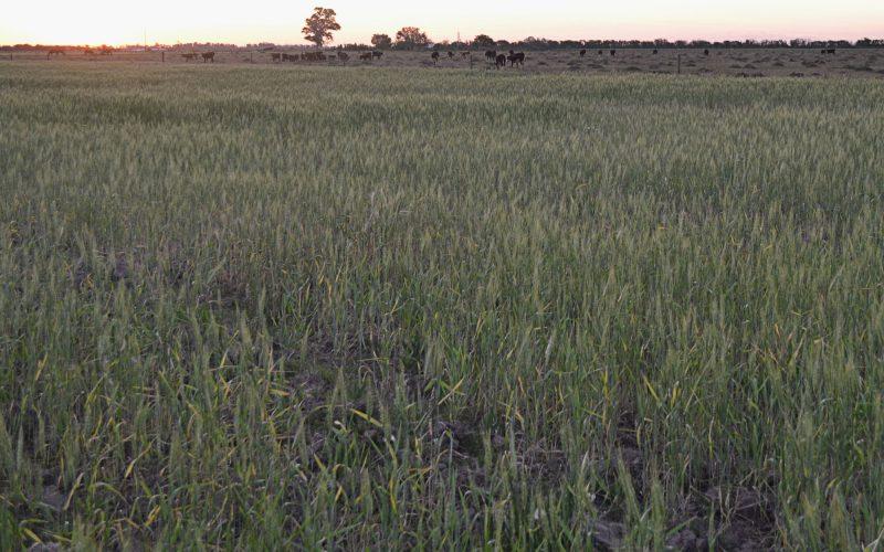 En 2019, los vecinos de Hersilia sembraron trigo agroecológico en en cinco hectáreas cedidas por un pequeño productor de la zona. Foto: Violeta Pagani.