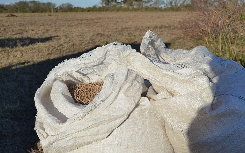 Semillas de trigo, previo a la siembra en Hersilia, 2019. Foto: Violeta Pagani